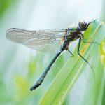 Gemeine Smaragdlibelle